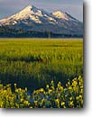 Stock photo. Caption: Seep spring arnica,  Grass Lake   and Mount Shasta Highway 97,  Siskiyou County Cascade Range,  California -- united states america longifolia marsh marshes peak peaks snow capped fog summer siskiyou county mountain mountains volcano volcanos volcanoes inactive flowers wildflowers wildflower sunflower sunrise majestic landscape landscapes arnicas morning
