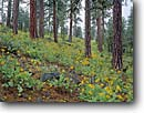 Stock photo. Caption: Deltoid balsamroot   and ponderosa pines Modoc National Forest Modoc County, California -- flowers flower wildflower wildflowers summer spring mountains plateaus united states america scenic scenics landscapes landscape cascade range pines forests balsamorhiza deltoidea balsam-root plateau plateaus pinus balsamroots sunflower family sunflowers
