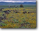 Stock photo. Caption: Hairy balsamroot Grasshopper Valley Lassen County California -- flowers flower wildflower wildflowers summer mountains plateaus united states america scenic scenics landscapes landscape balsamorhiza balsam-root Balsamorhiza hirsuta ranch ranches barn barns ranchland ranchlands mountain balsamroots sunflower family