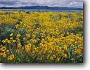 Stock photo. Caption: Deltoid balsamroot Eagle Lake Bureau of Land Management Lassen County,  California -- flowers flower wildflower wildflowers summer spring mountains united states america scenic scenics landscapes landscape balsamorhiza deltoidea balsam-root lakes sagebrush country bloom blooms blooming sunflowers sunflower family balsamroots perrenials