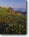 Stock photo. Caption: Hottentot fig   and Pigeon Point Lighthouse San Mateo County California -- united states america seascape seascapes light ice plant blue sunny ocean lite station historical lighthouses pacific coast beacon beacons direction guidance pharos navigation america navigational aid aids flower flowers coastal shoreline rugged