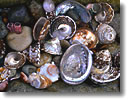 Stock photo. Caption: Abalone, scallop, snail  and barnacle shells Santa Rosa Island Channel Islands National Park California -- shell detail details closeup closeups parks tidepool tidepools iridescent Iridescence shiny