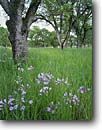 Stock photo. Caption: California brodiaea and blue oaks North Table Mountain Sierra Nevada Foothills Butte County, California -- united states america mountains brodiaea californica wildflower wildflowers flower flowers edible sierras oak tree trees meadow woodland meadows woodlands lush spring foothill