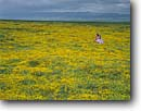 Stock photo. Caption: Goldfields and California poppies Carrizo Plain and Temblor Range Carrizo Plain National Monument San Luis Obispo County,  California -- poppy monuments flower flowers wildflowers wildflower   verdant spring lasthenia glaberrima eschscholzia californica  pastoral landscape landscapes united states america pretty girl girls lady field fields carpet carpets golden