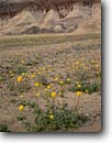 Stock photo. Caption: Desert sunflower and badlands   near Golden Canyon Death Valley National Park Mojave Desert, California -- Desertgold united states america  badland erosion eroded sunflowers Geraea canescens wildflower flowers wildflowers spring parks deserts desolate arid desolation anomaly geology tenacity isolation hope determination trust flower landscapes scenics