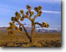 Stock photo. Caption: Joshua tree and Inyo Mountains   from Lee Flat Death Valley National Park Mojave Desert, California -- trees winter spring parks mohave deserts yucca yuccas purple landscape landscapes united states america tourist travel destination destinations stark harsh hope desolate desolation single