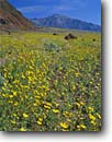 Stock photo. Caption: Desert sunflower and Black Mountains   from Death Valley Death Valley National Park Mojave Desert, California -- sunflower united states america badlands sunflowers Geraea canescens wildflower flowers wildflowers peak peaks mountain mountains spring furnace wash parks deserts desolate arid sunflowers mohave landscape landscapes Hairy Desertsunflower Desertgold