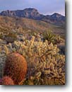 Stock photo. Caption: California Barrel Cactus Mojave National Preserve Mojave Desert  California -- deserts southwest united states america southwest southwestern arid yuccas evening light mohave united states america buckthorn cholla county landscape landscapes providence mountains  sharp harsh scenics scenic