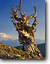 Stock photo. Caption: Bristlecone pine snag Schulman Grove Ancient Bristlecone Pine Forest White Mountains,  California -- pines tree trees summer gnarled gnarly strength tenacity forests mountains  great basin endurance travel tourist destination destinations struggle survival endurance twisted endemic alpine power weathered inyo national classic views scenics spring ancient