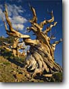 Stock photo. Caption: Bristlecone pine Schulman Grove Ancient Bristlecone Pine Forest White Mountains,  California -- pines tree trees summer gnarled gnarly strength tenacity forests mountains  united states great basin endurance travel tourist destination destinations struggle survival endurance twisted endemic alpine power weathered inyo national rare sunny blue skies