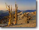 Stock photo. Caption: Bristlecone pines at sunrise Patriarch Grove Ancient Bristlecone Pine Forest White Mountains,  California -- pines tree trees summer gnarled gnarly strength tenacity forests mountains twisted united states scenics great basin endurance travel tourist destination destinations struggle survival endurance twisted endemic alpine power weathered ancient inyo national