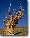 Stock photo. Caption: Ancient Bristlecone Pine Forest Inyo National Forest White Mountains, California -- pines tree trees blue sky summer gnarled gnarly strength tenacity forests mountains twisted united states america great basin endurance landscapes landscape travel tourist destination destinations  struggle survival endurance Pinus longaeva