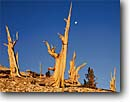 Stock photo. Caption: Bristlecone pines Ancient Bristlecone Pine Forest Inyo National Forest White Mountains,  California -- pines tree trees blue sky summer gnarled gnarly strength tenacity forests mountains twisted united states america great basin endurance landscapes landscape travel tourist destination destinations struggle survival endurance Pinus longaeva
