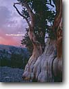 Stock photo. Caption: Bristlecone pine at sunset Ancient Bristlecone Pine Forest Inyo National Forest White Mountains,  California -- country sierras highcountry enduring old trees tree pines ancient rugged forests landscape landscapes bristlecones timeless united states america sunsets gnarly twisted trunk trunks