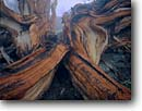 Stock photo. Caption: Bristlecone pine, Patriarch Grove Ancient Bristlecone Pine Forest Inyo National Forest White Mountains, California -- country sierras highcountry enduring  trees tree pine rugged forests detail roots details root wood mountain bristlecones timeless united states america gnarly twisted trunk trunks Pinus longaeva oldest living organism groves named landmarks grain