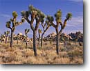 Stock photo. Caption: Joshua trees Lost Horse Valley Joshua Tree National Park Mojave Desert,  California -- deserts parks spring crescent mohave united states america tourist travel destination destinations tree evolution yucca yuccas landscape landscapes scenics scenic spring sunny blue skies views desolate forest