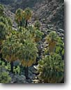 Stock photo. Caption: California fan palms Fortynine Palms Oasis Joshua Tree National Park Mojave Desert,  California -- deserts parks west palm tree trees oasis grove groves spring washingtonia filifera united states america arid shaggy fronds frond native survivors isolated remnant remnants mohave landscapes landscape scenic scenics trees tree deserts