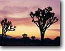 Stock photo. Caption: Joshua trees at sunset   near West Entrance Joshua Tree National Park Mojave Desert,  California -- tree deserts parks winter mohave parks destination destinations landscape landscapes united states america tourist travel sunny blue skies clear form pattern patterns forms shape shapes scenics silhouette silhouettes sunsets distance scenic
