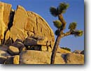 Stock photo. Caption: Joshua tree and granite outcrops Jumbo Rocks Joshua Tree National Park Mojave Desert, California -- trees boulder boulders outcropping deserts parks winter mohave   parks rock climbing destination destinations climber landscape landscapes united states america tourist travel sunny blue skies clear form pattern patterns forms shape shapes climber scenics