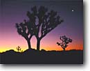 Stock photo. Caption: Joshua trees, Venus   and moon at dawn Queens Valley Joshua Tree National Park Mojave Desert, California -- planet planets moons sunrise sunrises deserts parks spring crescent mohave   yucca yuccas landscape landscapes united states america tourist travel destination destinations tree celestial stars silhouette silhouettes