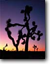 Stock photo. Caption: Joshua trees at dawn Queens Valley Joshua Tree National Park Mojave Desert,  California -- trees crescent moon moons yucca yuccas twisted deserts parks sunrise sunrises dramatic inspiring light morning early silhouette outline outlines branch branches reach reaching pink background united states america form forms shapes shape design desings