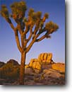 Stock photo. Caption: Joshua Tree at sunset Joshua Tree National Park Mojave Desert California -- granite rock trees parks deserts mohave united states america solitude landscapes landscape travel tourist destination destinations arid weathered design balanced rocky rugged sculpted artistic nature blue clear skies winter Yucca brevifolia