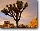 Stock photo. Caption: Joshua Tree at sunrise Jumbo Rocks Joshua Tree National Park Mojave Desert,  California -- granite rock trees parks deserts mohave united states america solitude landscapes landscape travel tourist destination destinations arid weathered design balanced rocky rugged sculpted artistic nature blue clear skies winter Yucca brevifolia