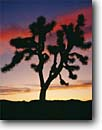 Stock photo. Caption: Joshua Tree at sunset Queen Valley Joshua Tree National Park Mojave Desert,  California -- granite rock trees parks deserts mohave united states america solitude landscapes landscape travel tourist destination destinations arid weathered design balanced rocky rugged sculpted artistic nature blue clear skies winter Yucca brevifolia