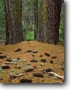 Stock photo. Caption: Sugar pines Buena Vista Grove Kings Canyon National Park Sierra Nevada,  California -- tree trees groves forest forests united states america large balance diversity landscapes landscape travel tourist destination destinations  growth virgin ancient sierras trunk strength strong pinecones pine cone cones floor scenics