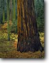 Stock photo. Caption: Giant sequoia Redwood Mountain Grove Kings Canyon National Park Sierra Nevada, California -- sequoias tree trees groves redwood redwoods huge forest forests fall autumn united states america mountains ancient large balance diversity landscapes landscape travel tourist destination destinations growth virgin ancient massive trunks trunk scenics