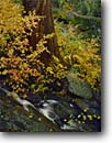 Stock photo. Caption: Creek dogwood and giant sequoia Grant Grove Kings Canyon National Park Sierra Nevada,  California -- sequoias tree trees groves redwood redwoods forest forests united states america large landscapes landscape travel tourist destination destinations growth virgin ancient dogwoods sierras trunk strength strong waterfall cascade creeks autumn fall
