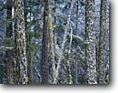 Stock photo. Caption: Douglas fir grove in fresh snow Forest Road 3N20 near Hyampom Trinity National Forest Trinity County ,  California -- trees tree forests winter snowfall forests firs douglas wintery united states america cold  trinities coniferous conifer conifers Pseudotsuga menziesii evergreen evergreens