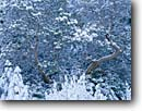 Stock photo. Caption: Pacific madrone in snow Forest Road 3N20 near Hyampom Trinity National Forest Trinity County ,  California -- trees tree forest winter snowfall forests firs wintery united states america cold madrones Arbutus menziesii detail details fresh snowfalls