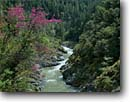 Stock photo. Caption: Redbud and Middle Fork Salmon River Salmon Mountains Klamath National Forest Siskiyou County, California -- united states america landscape landscapes scenic scenics scene mountain blooming spring redbuds rivers mountain forests spring shrubs flowering west western spawning