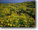 Stock photo. Caption: Giant coreopsis   on Point Dume Point Dume State Beach Los Angeles County, California -- united states america spring landscape landscapes southern beaches flowers wildflowers coastal coast coasts west pacific ocean oceans coastline coastlines flower endemic rare gigantea daisy daisies indiginous plant plants native wildflowers blue sky sunny