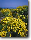Stock photo. Caption: Giant coreopsis   on Point Dume Point Dume State Beach Los Angeles County, California -- united states america spring landscape landscapes southern beaches flowers wildflowers coastal coast coasts west pacific ocean oceans coastline coastlines flower endemic rare gigantea daisy daisies indiginous plant plants native wildflowers sunny blue sky