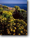Stock photo. Caption: Giant coreopsis   on Point Dume Point Dume State Beach Los Angeles County, California -- spring landscape landscapes southern beaches flowers wildflowers coastal coast coasts west pacific ocean oceans coastline coastlines flower endemic rare gigantea daisy daisies indiginous plant plants native wildflowers sunny blue skies clear daisys