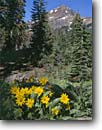 Stock photo. Caption: Arrowleaf balsamroot and Brokeoff Mountain Lassen Volcanic National Park Cascade Range,  California -- Balsamorhiza sagittata united states america wildflower wildflowers flower flowers trees meadow woodland meadows blooming bloom blooms landscape landscapes scenic scenics summer blue skies clear sunny balsamroots sunflowers sunflower