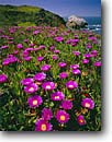 Stock photo. Caption: Ice plant (hottentot fig) Rodeo Cove Golden Gate National Recreation Area Marin County,  California -- united states america landscape landscapes coast coasts west pacific coastline coastlines shoreline shore shorelines parks summer non native plants flowers flower invasive weed weeds pretty areas seascape seascapes