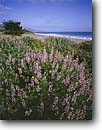 Stock photo. Caption: Blue bush lupine Limantour Beach Point Reyes National Seashore Marin County,  California -- united states america landscape landscapes coast coasts west pacific coastline coastlines beach beaches  shoreline shore shorelines parks san francisco seashores lupines wildflower wildflowers flowers flower sandy sunny blue skies shrub seascape seascapes