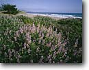 Stock photo. Caption: Blue bush lupine Limantour Beach Point Reyes National Seashore Marin County,  California -- united states america landscape landscapes coast coasts west pacific coastline coastlines beach beaches shoreline shore shorelines parks san francisco bay area seashores lupines wildflower wildflowers flowers flower sandy sunny blue skies shrub