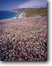 Stock photo. Caption: Wild radish Tomales Point Point Reyes National Seashore Marin County,  California -- united states america landscape landscapes coast coasts west pacific coastline coastlines shoreline shore shorelines parks ridges summer scenic non native flowers flower invasive weed weeds pretty seashores parks sunny blue skies purple seascape seascapes