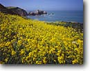 Stock photo. Caption: Wild mustard Rodeo Cove Golden Gate National Recreation Area Marin County,  California -- united states america landscape landscapes coast coasts west pacific coastline coastlines shoreline shore shorelines parks summer scenic flowers flower seashores parks sunny blue skies seascape seascapes yellow ocean oceans western calm seas beauty