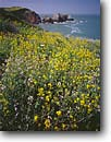 Stock photo. Caption: Wild mustard Rodeo Cove Golden Gate National Recreation Area Marin County,  California -- united states america landscape landscapes coast coasts west pacific coastline coastlines shoreline shore shorelines parks summer scenic flowers flower seashores parks sunny blue skies seascape seascapes yellow ocean oceans western calm seas