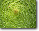 Stock photo. Caption: Table aeonium Fern Canyon Gardens Mill Valley Marin County,  California -- united states america west pacific  formal garden form forms design designs pattern patterns artistic nature swirl agave agaves spiral