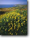 Stock photo. Caption: Yellow tree lupines Tomales Point Point Reyes National Seashore Marin County,  California -- united states america landscape landscapes coast coasts west parks ridges summer vista vistas views scenic flowers flower spring lupine Lupinus arboreus bush coastline coastal headlands seashores wildflowers wildflower shore shoreline clear sunny