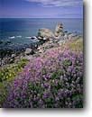 Stock photo. Caption: Silver lupine  at Turtle Rock Golden Gate National Recreation Area Marin County,  California -- united states america landscape landscapes coast coasts west parks  summer views scenic flowers flower spring lupine Lupinus coastline coastal headlands wildflowers wildflower shore shoreline rocky Lupinus albifrons douglasii rugged sunny clear landmarks