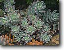 Stock photo. Caption: Echeverria Fern Canyon Gardens Mill Valley Marin County,  California -- united states america west pacific formal garden form forms design designs pattern patterns artistic nature succulents rock succulent