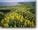 Stock photo. Caption: Yellow tree lupine Tomales Point and Bodega Head Point Reyes National Seashore Marin County, California -- native plants landscape landscapes coast coasts west pacific coastline coastlines shoreline shore shorelines parks summer seashores areas bluffs seascape seascapes ocean oceans Lupinus arboreus lupines flower flowers wildflowers wildflowers coastal parks