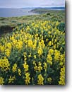 Stock photo. Caption: Yellow tree lupines Tomales Point Point Reyes National Seashore Marin County, California -- native plants landscape landscapes coast coasts west pacific coastline coastlines shoreline shore shorelines parks summer seashores areas bluffs seascape seascapes ocean oceans Lupinus arboreus lupines flower flowers wildflowers wildflowers coastal parks